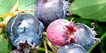 De krentenboom komt in Twente veel voor, ook in het wild. De bessen worden gedroogd en in de krentenwegge verwerkt. Pas in de 19e eeuw zijn deze vervangen door de uitheemse zuidvruchten. In en na de oorlog maakte mijn moeder ook jam van deze krenten, vaak in combinatie andere vruchten. Door het hoge pectine-gehalte maakte een geleermiddel niet nodig. Die potten jam waren zelfs na vier of vijf jaar nog onaangetast. Geweckt In brandewijn geweckt ontstaat een soort van stroperige likeur die nog langer houdbaar is.  Van zomer 1970 tot zomer 1972 woonde ik met mijn toenmalige echtgenote Ankie Versfelt en onze kinderen Jasper en Sabien in de Yorkshire Dales. In het dorpje Asquith, vijf huizen en een pub. Ik had een idyllisch plekje gevonden aan een voetpad dat naar de oevers van de Wharf leidde. We woonden op Quaker Cottage, een middeleeuws gebouwtje dat aan het begin van de 17e eeuw gediend had als schuilkerk voor de Quackers. De eindeloze tuin werd omgeven door krentenbomen, de braamstruiken, de rozebottels, de vlierbessen en de bosaardbeien. Samen met mijn kinderen op de pluk vond ik ook de lang vergeten weg naar mijn moeders jammakerij terug.